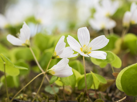 Wood sorrel flowers in the springtime Stock Photo