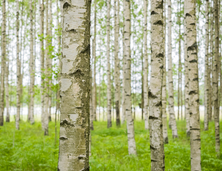 Birch Trees by the Baltic Sea Stok Fotoğraf - 81153518