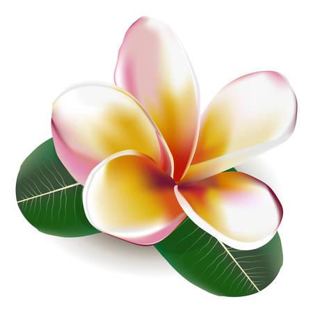 Beautiful vector illustration. Beautiful gentle flower Frangipani  イラスト・ベクター素材