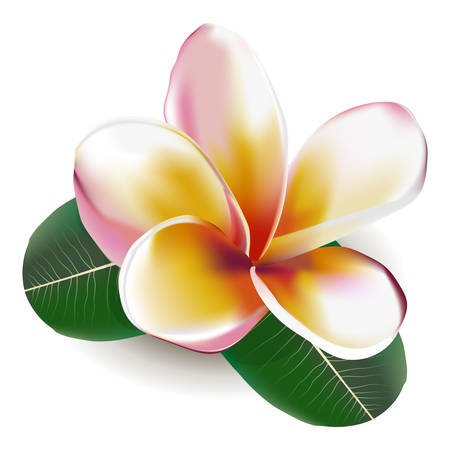 Beautiful vector illustration. Beautiful gentle flower Frangipani 向量圖像