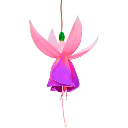 Beautiful vector illustration. Bright, fragrant flower of fuchsia