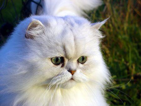 flink: Persisch Chinchilla