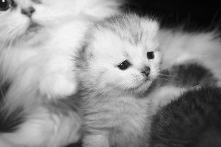 antics: Ansata Persian Kitten Stock Photo