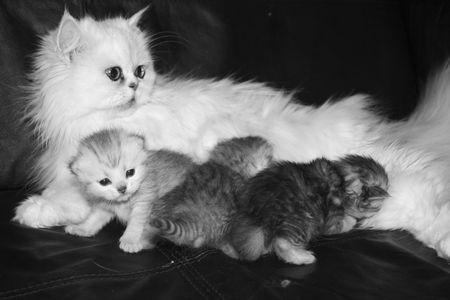 smallness: Ansata Persian Kitten Stock Photo