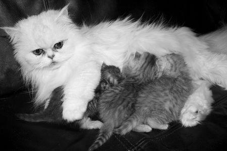 smallness: Ansata Cats, Persian Kitten in Silvershaded