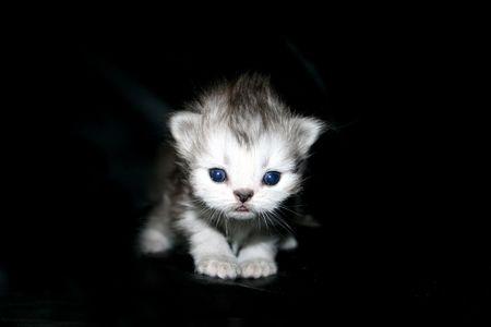 smallness: Ansata`s Arjoun, Persian kitty in silvershaded Stock Photo