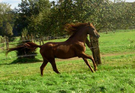 to let: Arabian Stallion LET Pashan from LET Arabians, france Stock Photo