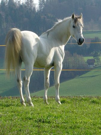 chestnut male: LET Talisco, Arabian Stallion
