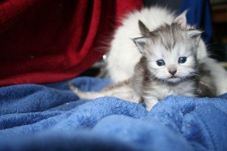 chestnut male: kitten Stock Photo