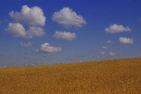 A grainfield under drifting heap clouds