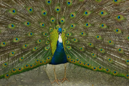 A male peacock fanning his tail, courtship behavior photo