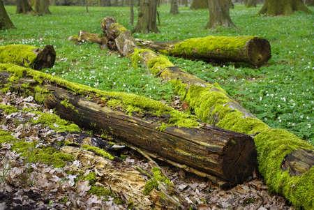 Rotten mossy tree trunks in a floodplain forest Stock Photo