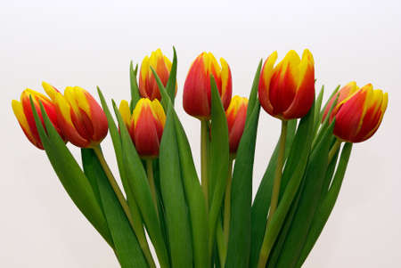 A bouquet of tulips isolated over white