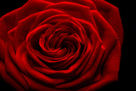 Just the blossom of a single red rose isolated over black
