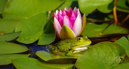 Some pool frog enjoying the sun on the leaf of a water lily