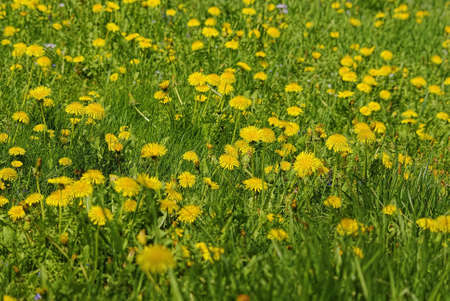 A meadow of fresh green grass and dandelions in spring.