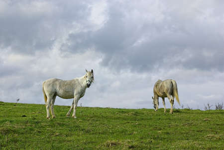 Two grazing white horses on fresh green pasture under cloudy skies.