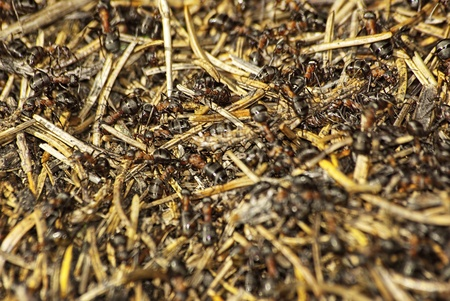 Anthill being alive with busy ants. Stock Photo