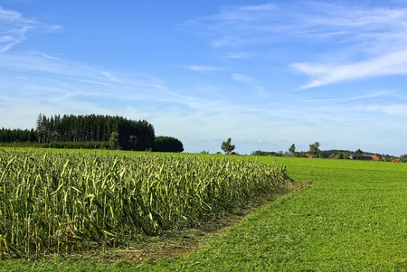 A cornfield damaged by thunderstorm and hail. Stock Photo