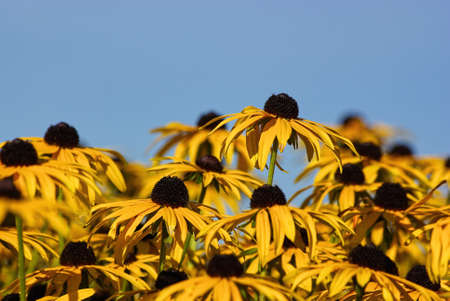 A bunch of Echinacea in the autumn sun before a blue sky.