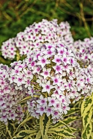 Een mooie bos bloemen Phlox. Stockfoto