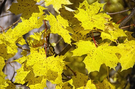 Autumnly coloured maple leaves in the sunshine.
