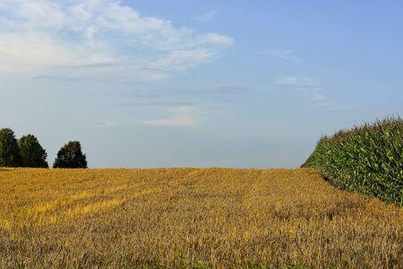 Grainfield and cornfield in midsummer.