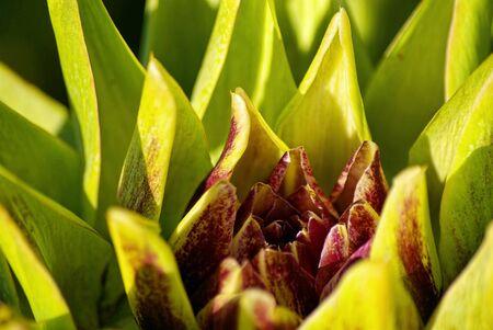 medical  plant: La alcachofa, Cynara cardunculus, no s�lo es un delicioso vegetal, sino tambi�n una planta medicinal utilizado para reducir el colesterol en sangre.