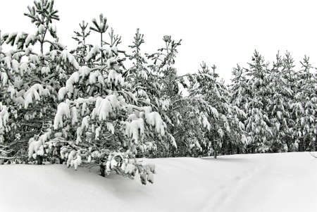 A wintery snowy young forest plantations. Stock Photo