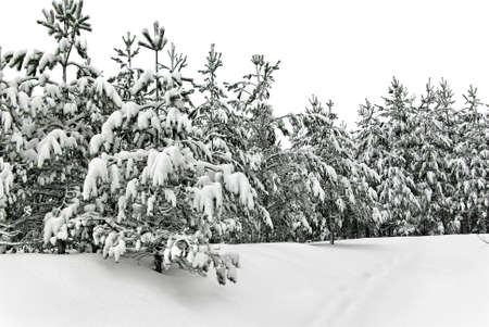 Een winterse besneeuwde jonge bosaanplant.
