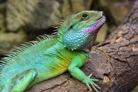 Side view and closeup of the Chinese Water Dragon, also Green Water Dragon, Physignathus cocincinus, a resident of the South East Asian rainforest  Stock Photo