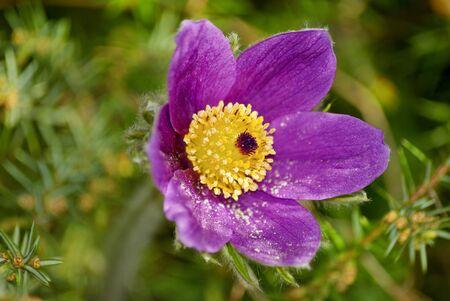 Close-up van de bloesem van Pulsatilla vulgaris, ook Pasen Bloem, pasque bloem, wind bloem, weide krokus en weide anemoon Stockfoto