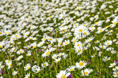 A meadow of fresh green grass and marguerites  Stock Photo