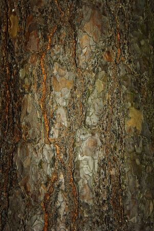 Close-up of a tree bark  with a slightly grungy effect, which makes a very interesting background and texture Stock Photo - 13991760