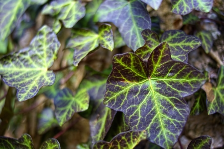 Beautifully veined leaves of Ivy, Hedera helix