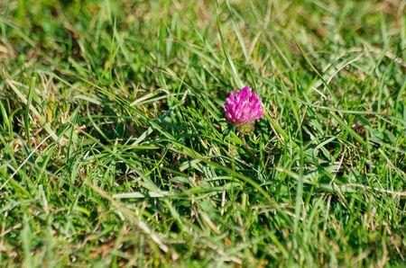 Clover bloesem wordt een stukje van kleur onder vers groen gras Stockfoto