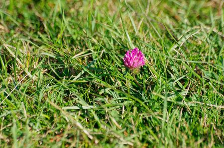 Clover blossom being some piece of colour among fresh green grass