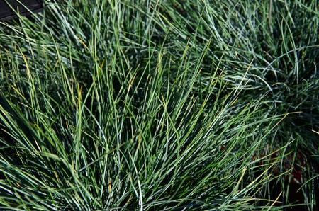 Structure of Festuca grass