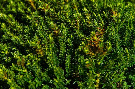 Een tapijt van Hebe alias Veronica planten Stockfoto