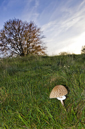 phallic: Parasol mushroom or Macrolepiota procera in a pasture environment.
