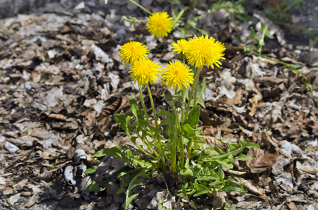 taraxacum: Common Dandelion Taraxacum officinale.