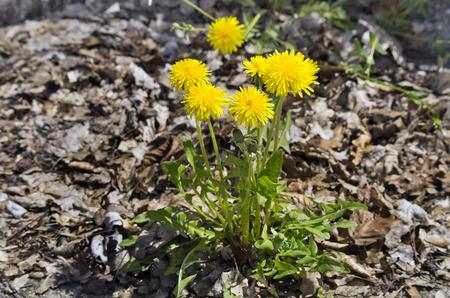 Common Dandelion Taraxacum officinale.