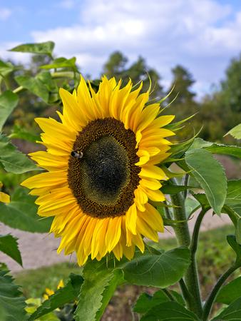 girasol: Una sola flor del sol en un campo de girasoles.