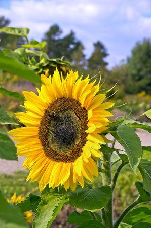 A single sun flower in a field of sunflowers.  Stock Photo