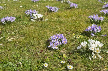 Early bloomers like crocuses on a meadow in spring. Stock Photo