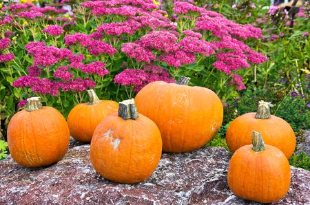 Pumpkins and examples of Hylotelephium telephium in the background. K�rbisse und Purpur-Fetthenne im Hintergrund.
