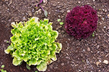 Lettuce plants, green and red, as seen as from a birs eyes view.