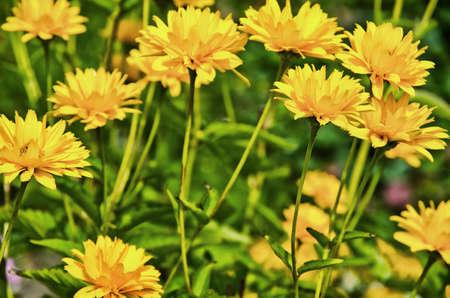 Yellow flowers in a green grass garden meadow environment.