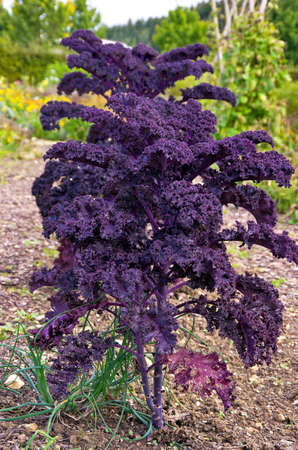 Ornamental cabbage plans Which ran to leaf. Stock Photo