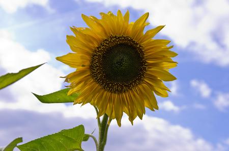 aureola: A single sun flower in a field of sunflowers.